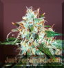 Delicious Critical Neville Haze Female 5 Seeds Seeds